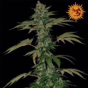 auto cannabisfrø