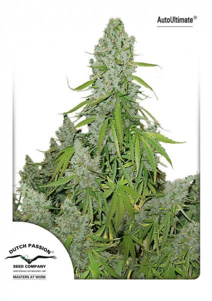Cannabisfrø