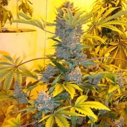 Nirvana - bubblelicious-feminized-autoflower-5-seeds