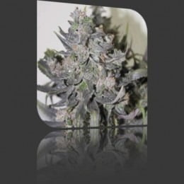 blue-mystic-feminized-5-seeds