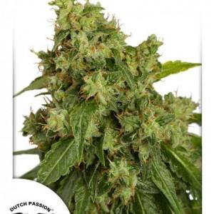 Auto Xtreeme Cannabisfrø