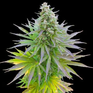 Blueberry gum Cannabisfrø