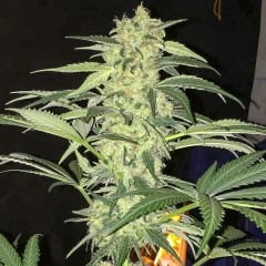 SAGE CBD Medicinske cannabisfrø