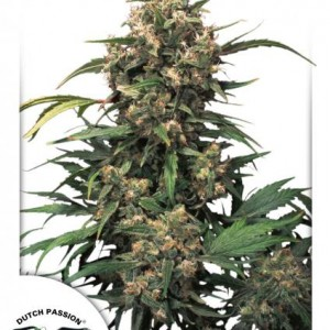 Strawberry Cough Cannabisfrø