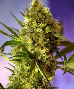 Big Devil #2 skunk frø cannabisfrø