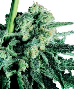 Sensi Skunk cannabis frø