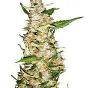 Skunk #1 Auto cannabis frø